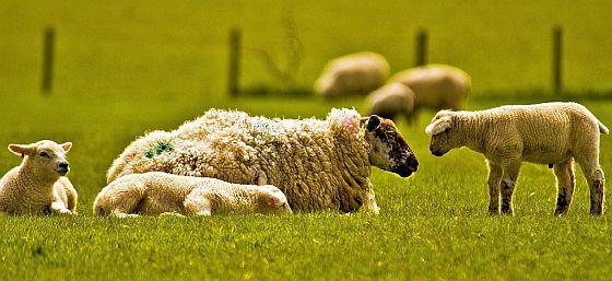 happy-sheep-family