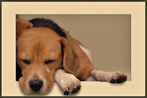 This little pooch is dog-gone tired! (image from Rombia on Flickr)